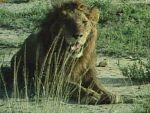 Los leones de la Virunga (Robinson en África)