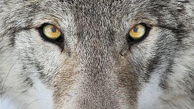 Travesías en Radio 5 - Vivir con lobos - 07/07/17 - Escuchar ahora