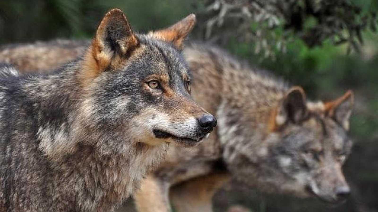 Vida verde - El lobo, los bosques y las casas - 21/10/17 - escuchar ahora