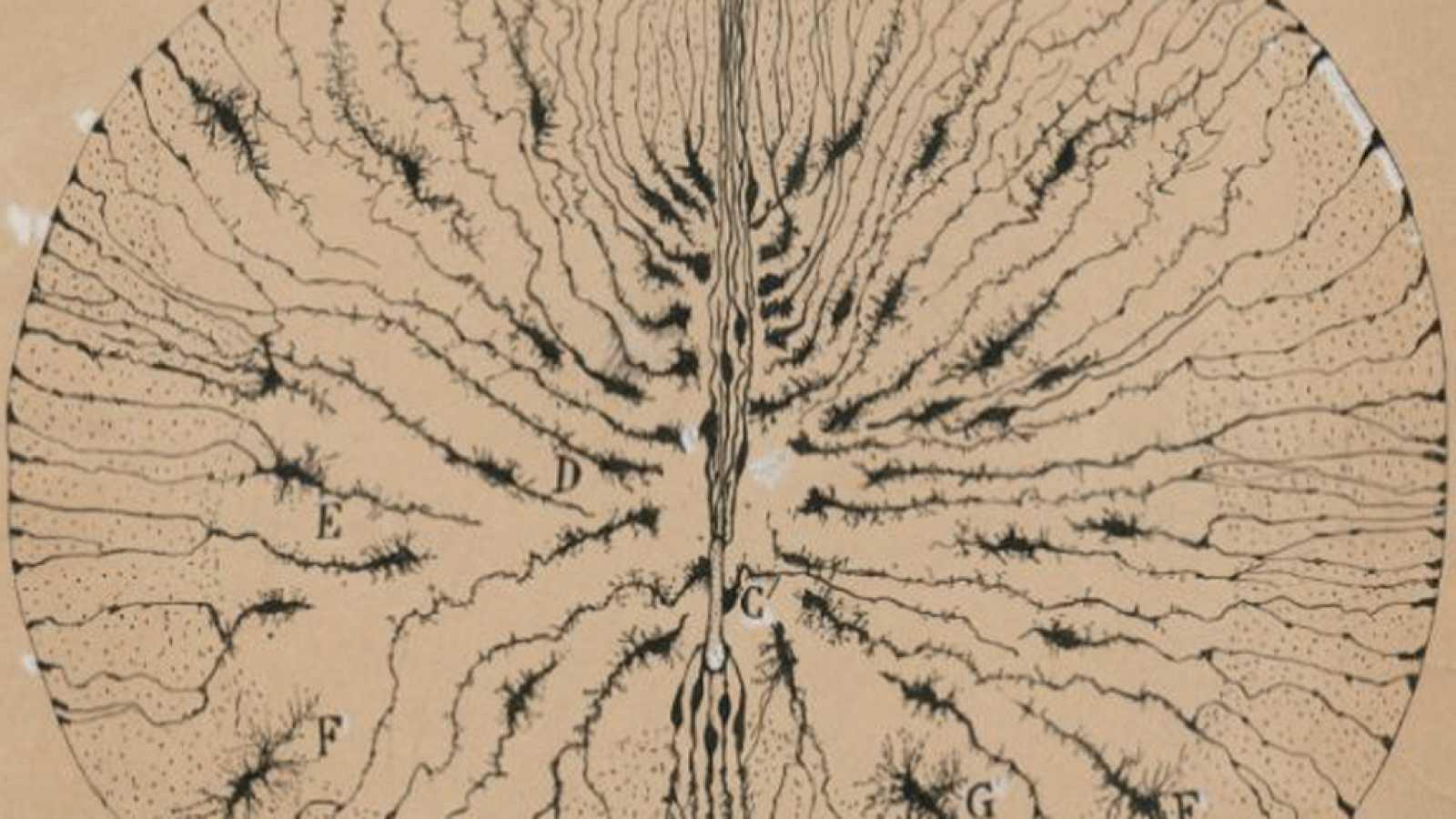 Entre paréntesis - 'La belleza del cerebro', vista por Ramón y Cajal - 25/07/18 - Escuchar ahora