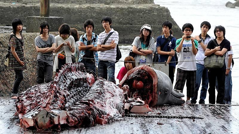 Japón volverá a pescar ballenas en 2019 - Escuchar ahora