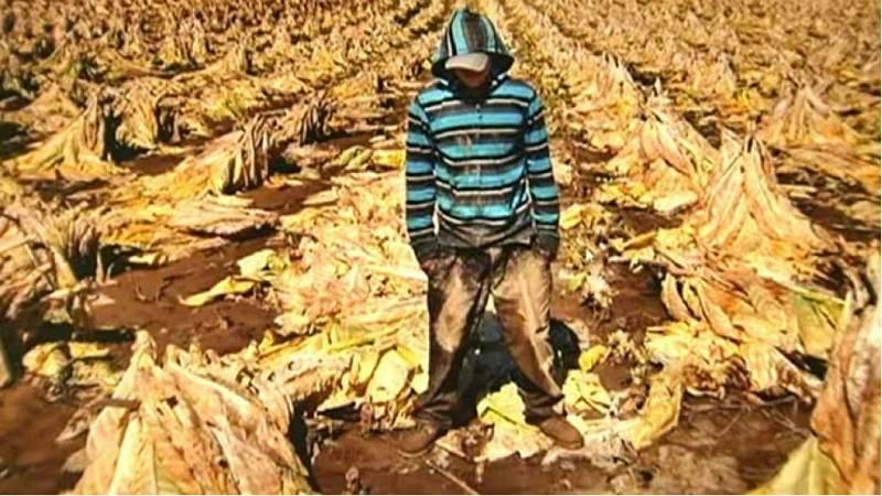 Deforestación y contaminación, daños ambientales del tabaco - Escuchar ahora