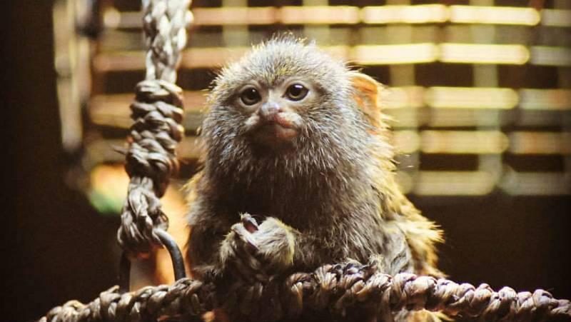Animales y medio ambiente - La crianza de los titís - 20/04/19 - Escuchar ahora