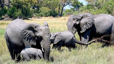 Permiten cazar elefantes en Botsuana - escuchar ahora