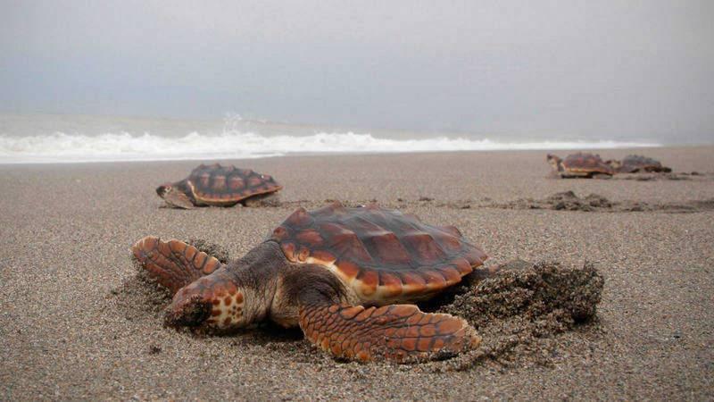 Españoles en la mar - Plataforma permanente de especialistas en tortugas marinas en España - escuchar ahora