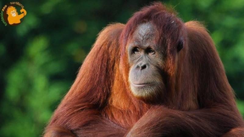 Animales y medio ambiente - Cumpleaños de Victoria, orangutana de Sumatra - 10/08/19 - Escuchar ahora