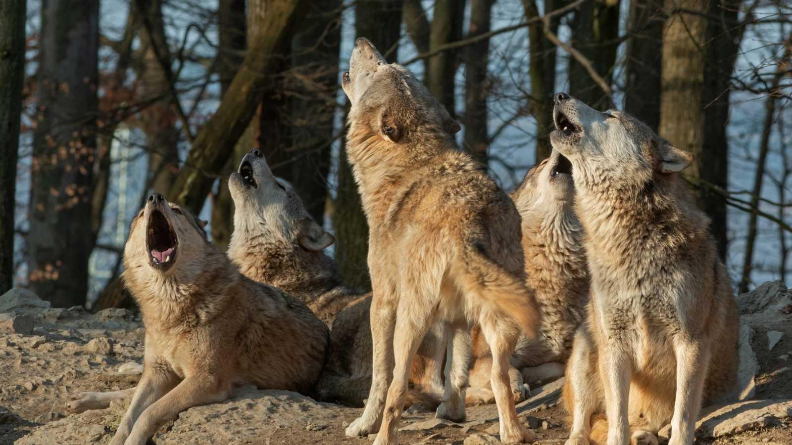 Travesías en Radio 5 - Pastores europeos por el lobo - 11/12/19 - Escuchar ahora