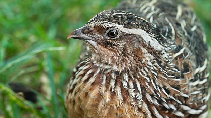 Boletines RNE - La codorniz común, ave del año - Escuchar ahora