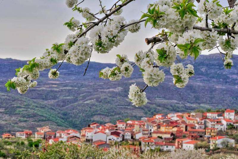 La floración de la cereza del Jerte, se adelanta - Escuchar ahora