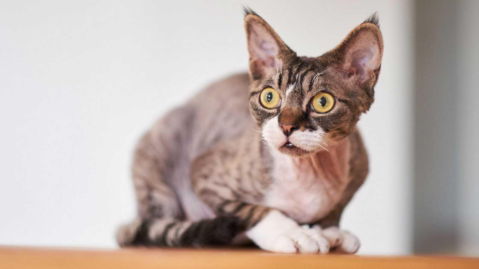 El arca de Noé - Alopecia en gatos - 06/04/20 - escuchar ahora