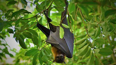 Reserva natural - Murciélagos, ¿víctimas también de la pandemia? - 10/06/20 - escuchar ahora