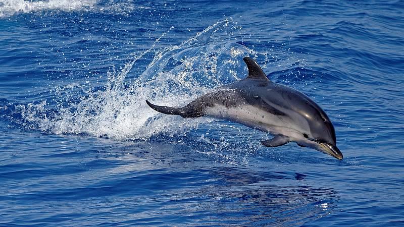 Españoles en la mar - Cetáceos en el sur del Corredor de Migración de Cetáceos del Mediterráneo - 07/08/20 - escuchar ahora