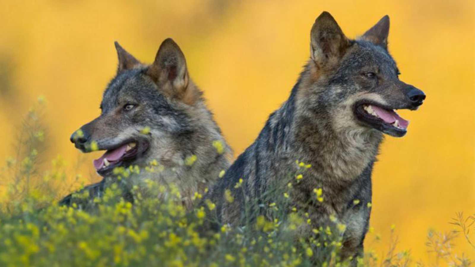Por tres razones - Memorias de lobo - 24/08/20 - escuchar ahora