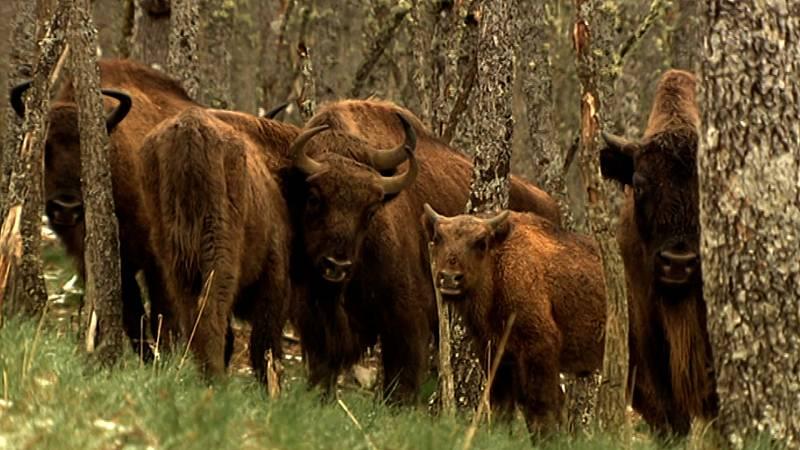 Crónicas de un nómada - Bisontes de la Montaña Palentina - 30/08/20 - Escuchar ahora