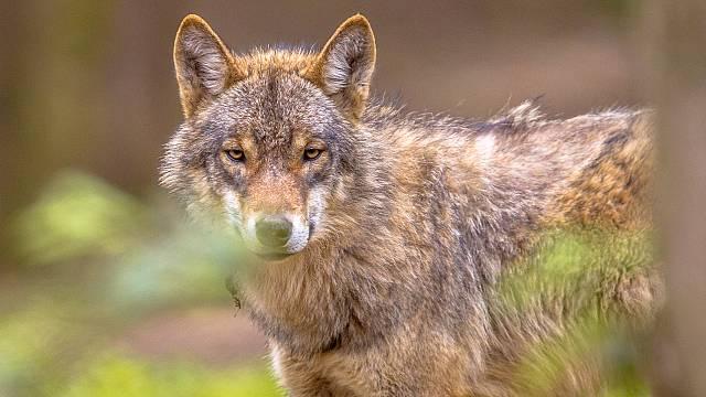 La detandura del lobo