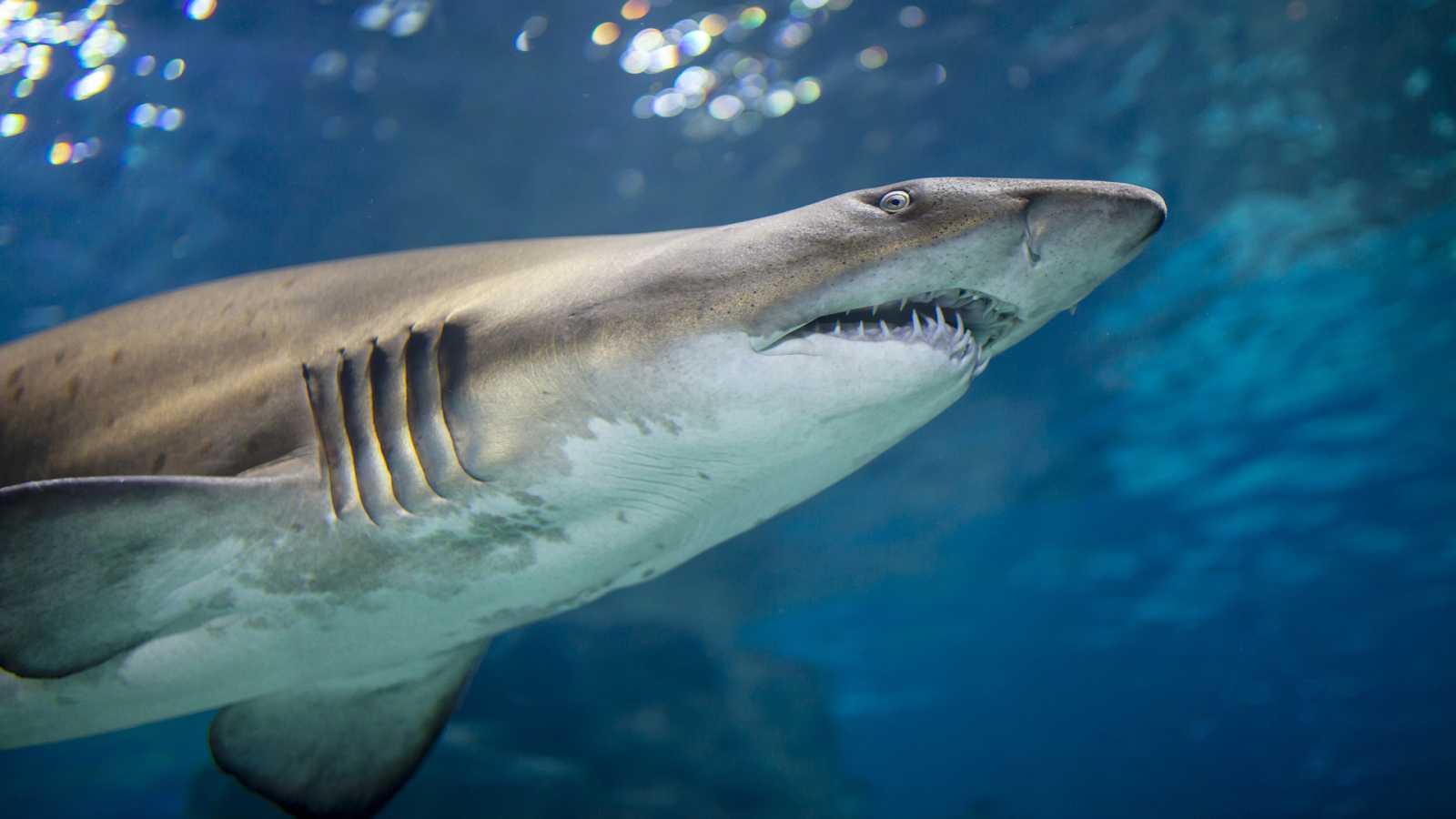 Españoles en la mar - Los tiburones fuente de escualeno en las vacunas COVID-19 - 20/10/20 - Escuchar ahora