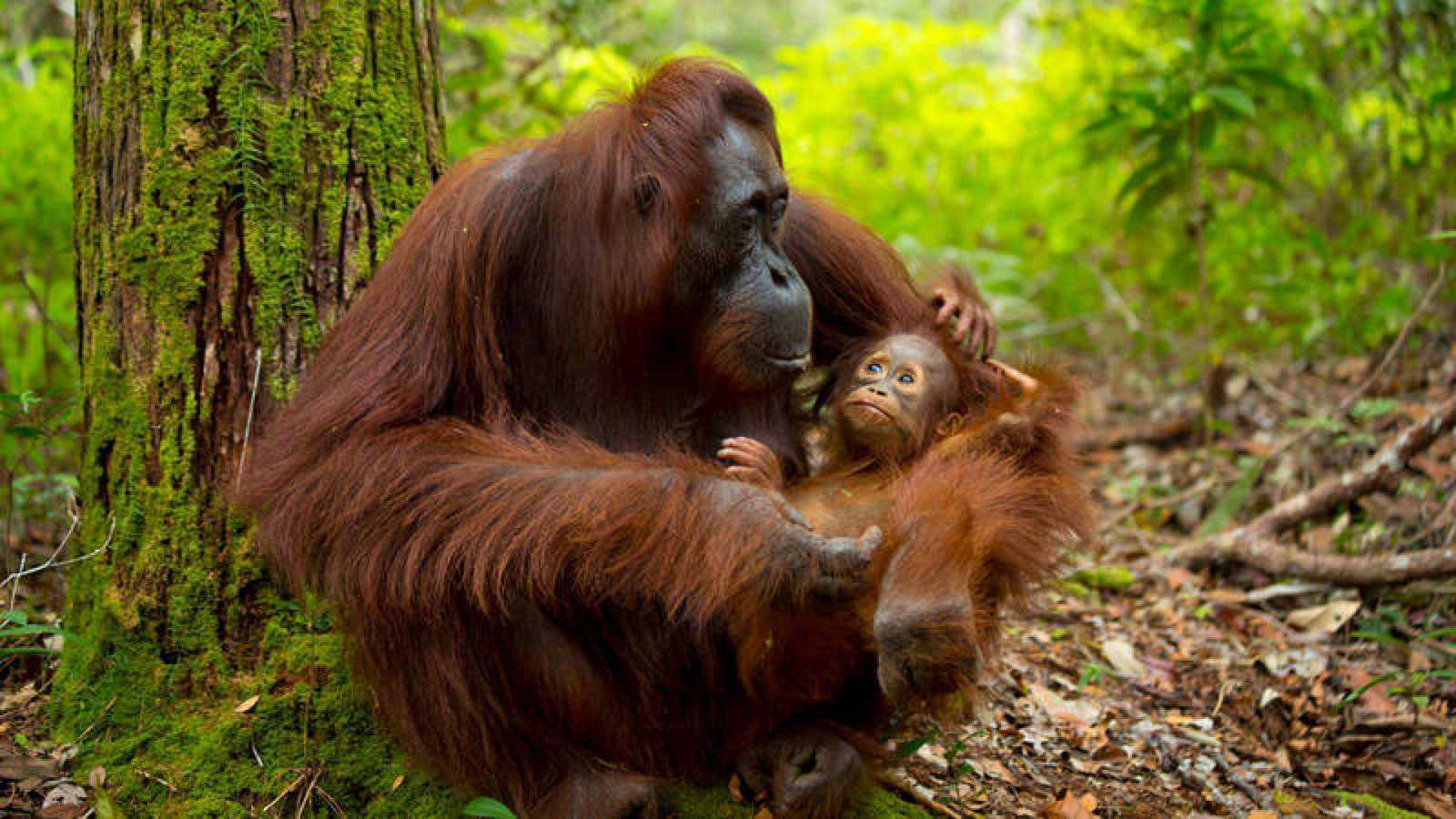 Las Mañanas de Radio Nacional con Pepa Fernández - Orangutanes en peligro de extinción - Escuchar ahora