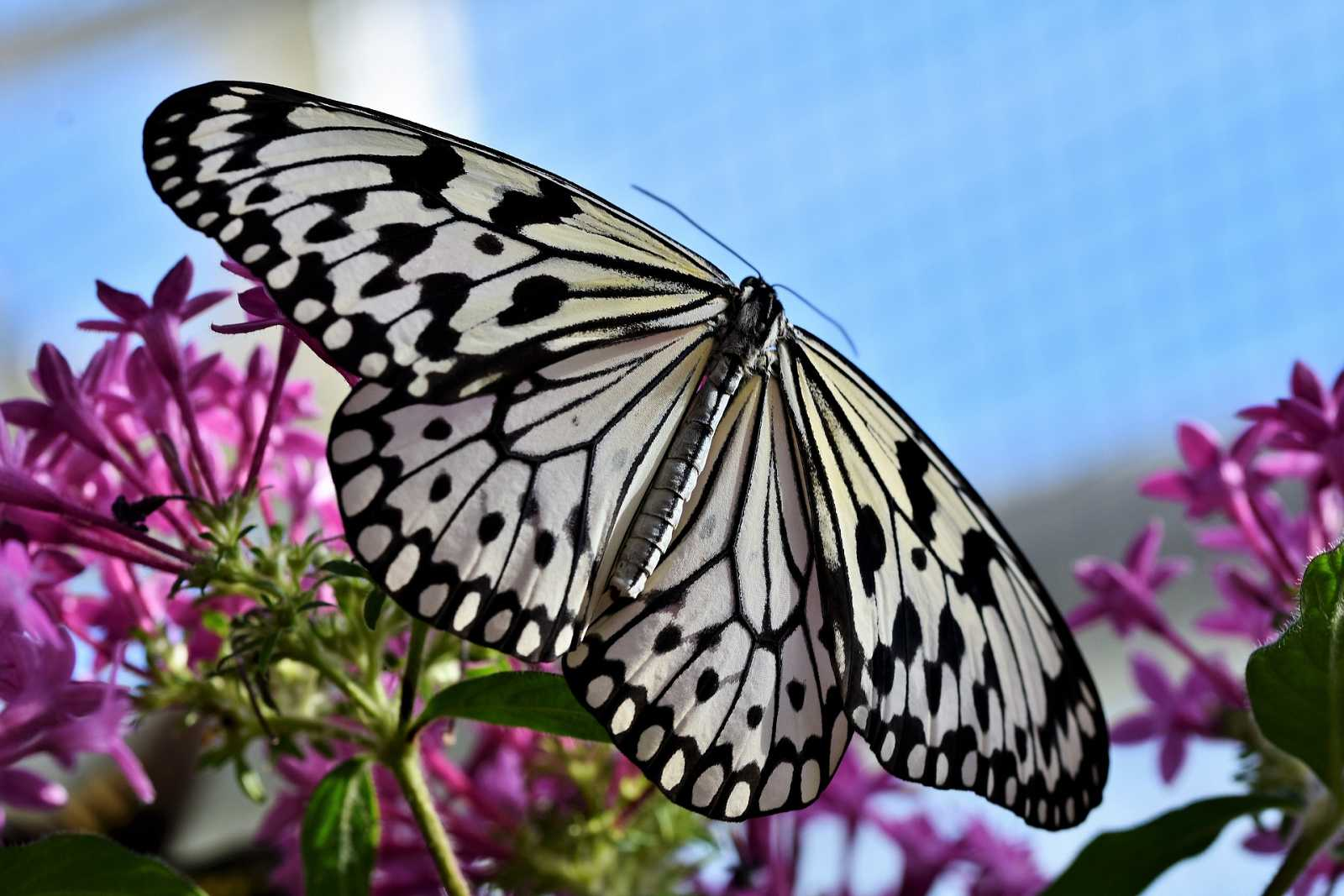 Les papallones urbanes van augmentar a BCN durant el confinament