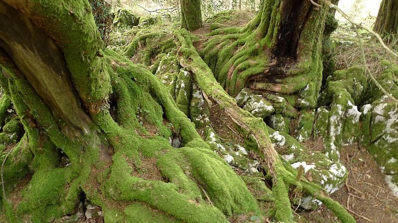 El bosque habitado - Regreso a las raíces del árbol con Ignacio Abella - 03/01/21 - escuchar ahora