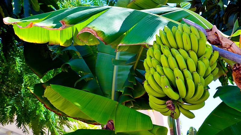 Alimento y salud - Plátano de Canarias y cocina segura - 17/01/21 - escuchar ahora