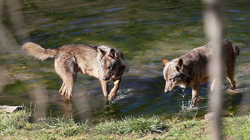 14 horas - Se prohíbe la caza del lobo: victoria histórica para los ecologistas, un paso atrás para los ganaderos - Escuchar ahora