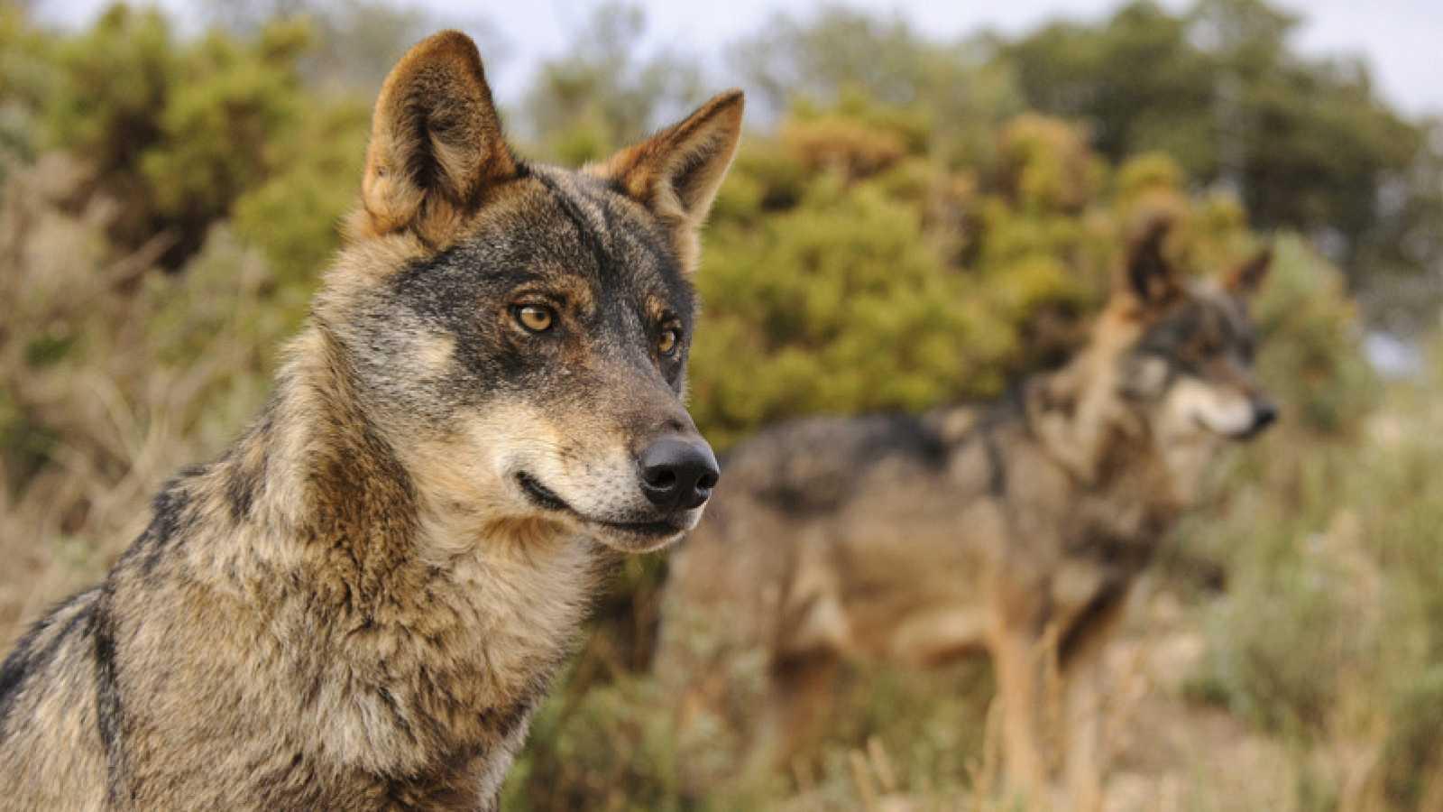 Vida verde - Atención al lobo - 13/02/21 - escuchar ahora