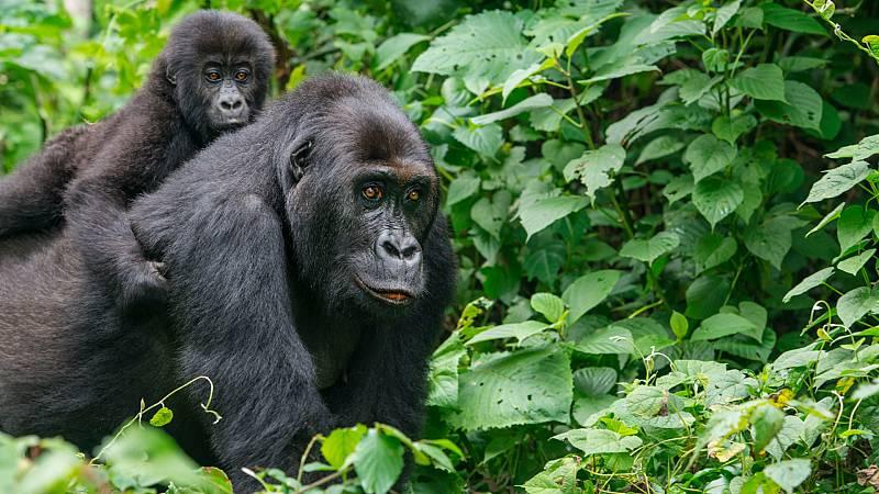 Cinco continentes - RDC: los peligros de ser ranger - Escuchar ahora