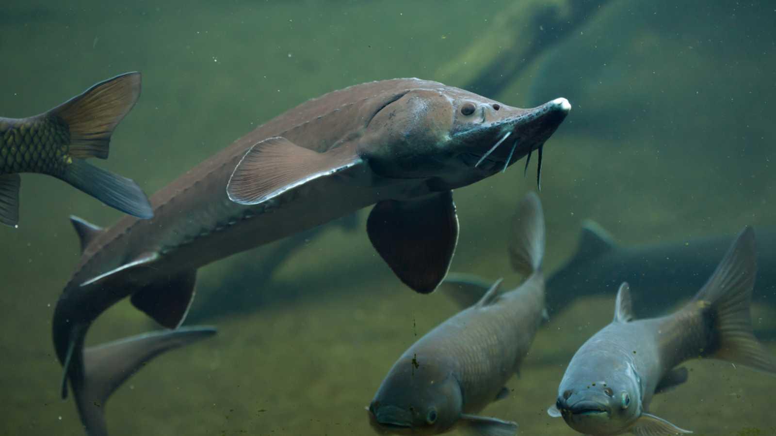 Cinco continentes - «Los peces olvidados del mundo» - Escuchar ahora