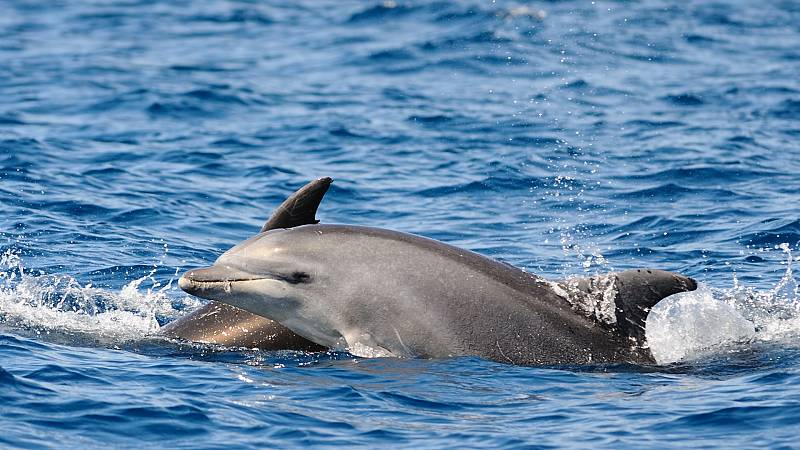 Españoles en la mar - Delfines heridos en la bahía de Algeciras - 01/04/21- escuchar ahora
