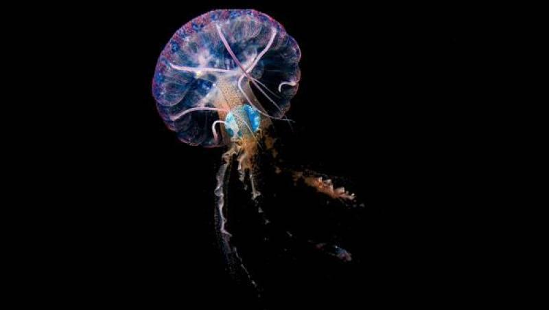 Españoles en la mar - Fotografían por primera vez a medusas ingiriendo plásticos - 13/04/21 - escuchar ahora