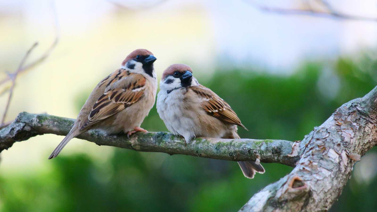 El gallo que no cesa - El vuelo de la alondra: El canto de las aves y la felicidad - Escuchar ahora