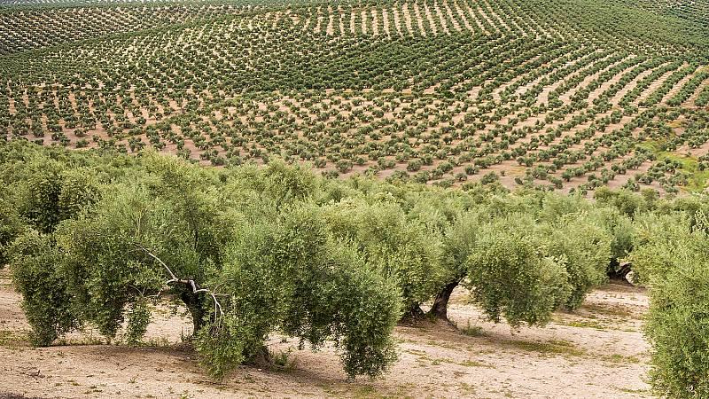 Marca España - El paisaje del olivar andaluz merece ser Patrimonio de la Humanidad - 26/04/21 - escuchar ahora