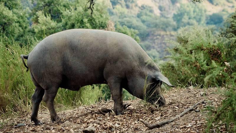 Marca España - El cerdo rubio rondeño que triunfa en Asia - 14/05/21 - escuchar ahora