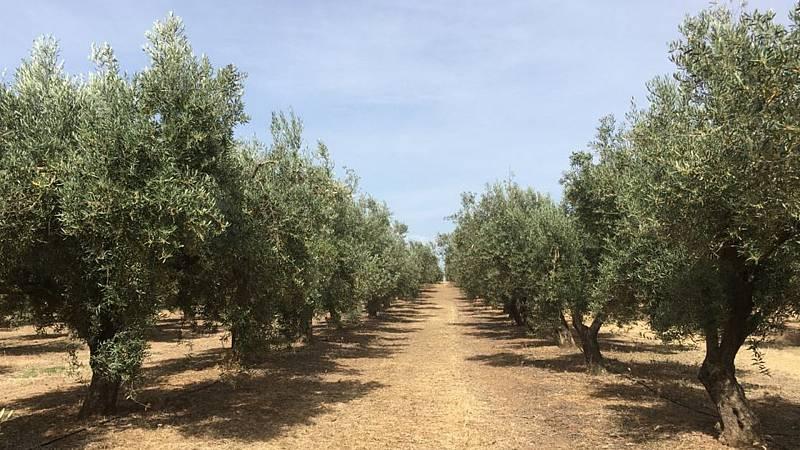 Por tres razones - España, el país con el mayor olivar del planeta - 11/06/21 - escuchar ahora