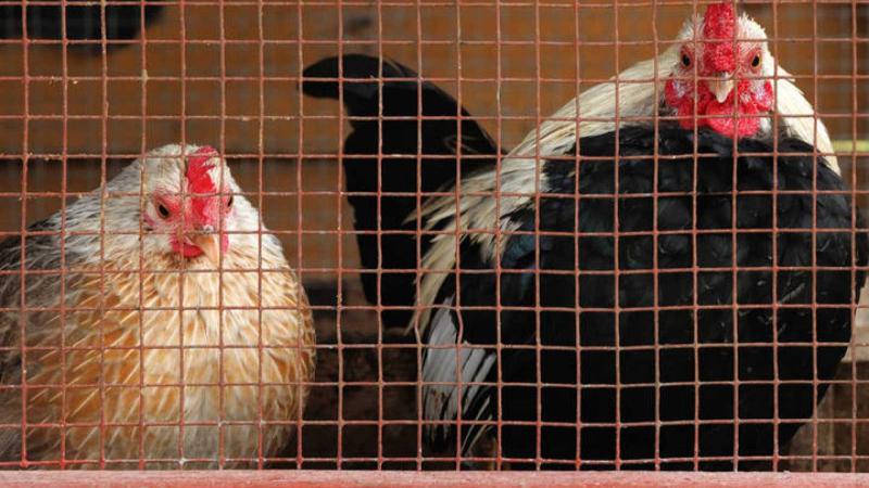 Tot A Europa - Parlem de la resolució europea contra la cria dels animals en gàbies amb Carmen Méndez, presidenta d'ADDA - Escoltar ara