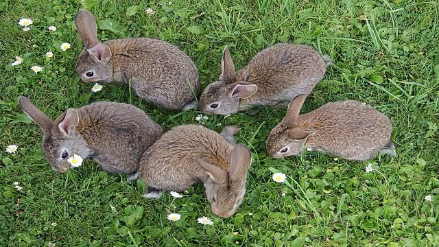 La manada de conejos