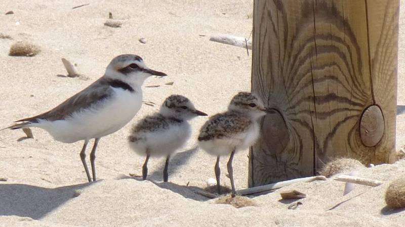 Por tres razones - Salvar las aves marinas de las playas valencianas - Escuchar ahora