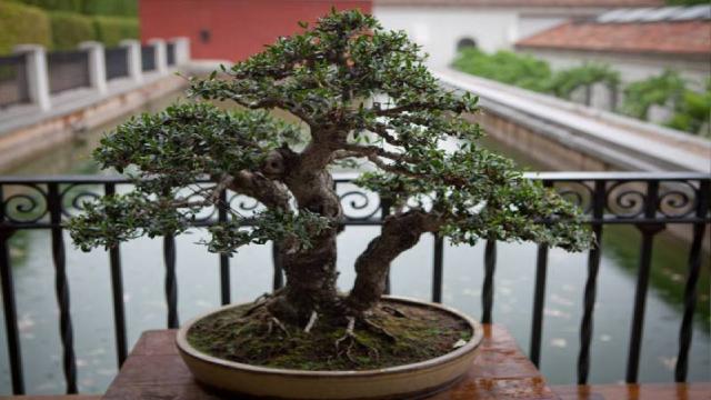 Los bonsáis del Botánico