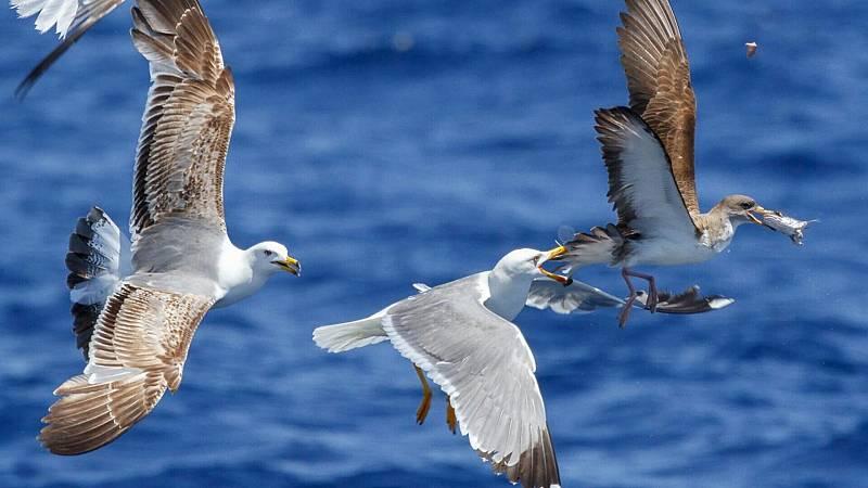 Por tres razones - 'Las aves, nuestros ojos en el mar' - Escuchar ahora