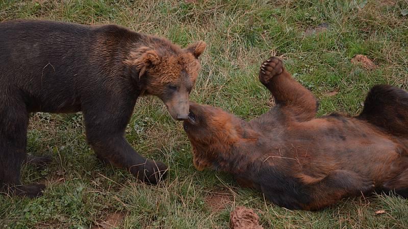 Por tres razones - ¿Qué pasa si me encuentro un oso en pleno bosque? - Escuchar ahora