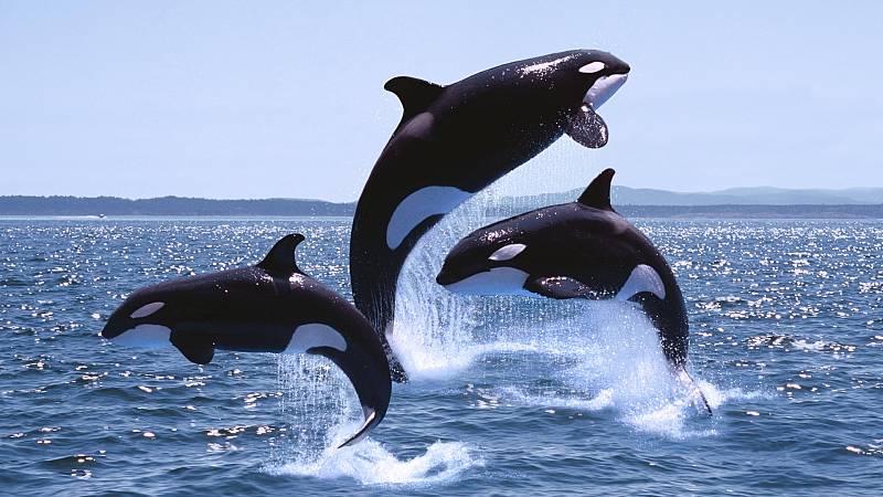 Más cerca - Restringida la navegación en Cádiz por encuentros con orcas - Escuchar ahora