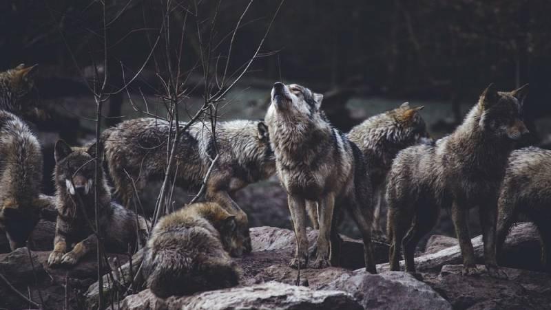 Atriles entre los árboles - Aullando en los bosques. En busca del lobo gris - 14/09/21