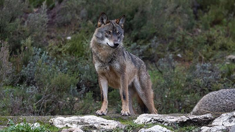 Boletines RNE - El Gobierno prohíbe la caza del lobo - Escuchar ahora
