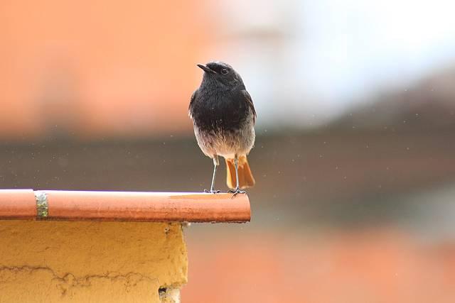 Arribarem a 50º de temperatura. Sobreviuran els ocells?
