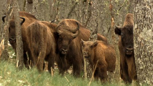 Bisonte europeo. Una historia de esperanza