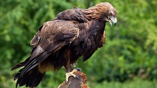 El águila real II