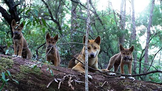 El vínculo familiar de los dingos