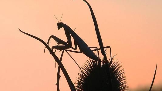 Mantis, la reina de río seco