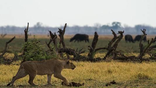 La batalla por la manada