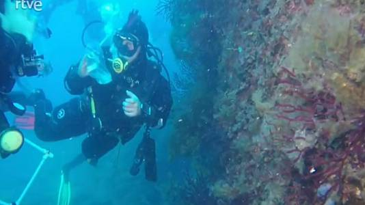 Submaristes restauren la gorgònia roja al fons de les Illes